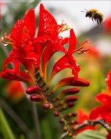 Bee & montbretia
