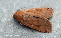 Large Yellow Underwing