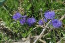 Sheep's-bit Scabious