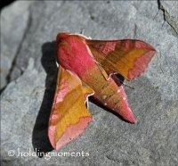 Small Elephant Hawk-moth