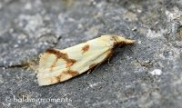 Hooked-marked Straw Moth
