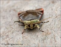 Lesser Broad-bordered Yellow Underwing
