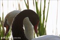 Black Swan and Mute Swan