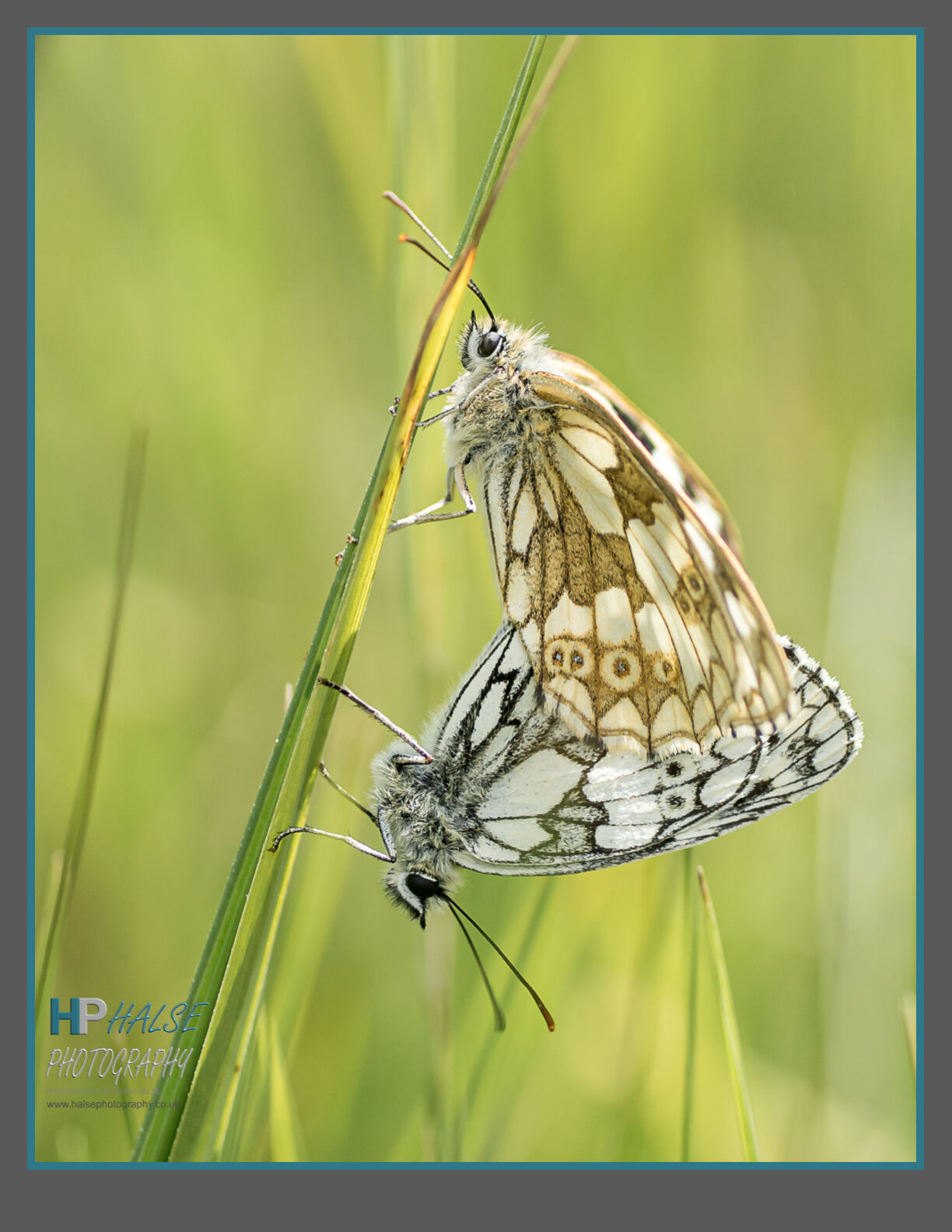001 Pair of Marbled White Butterflies