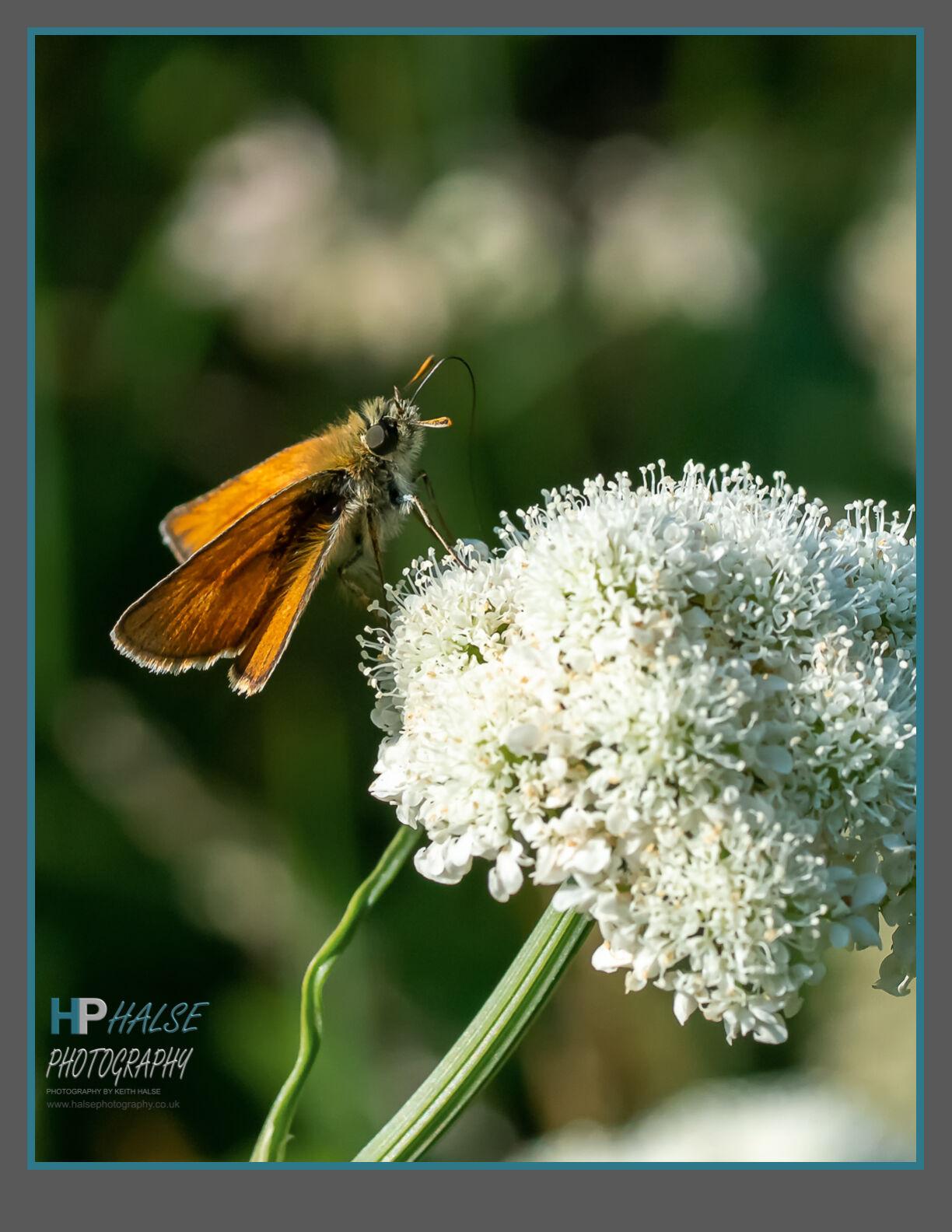 002 Lulworth Skipper Butterfly