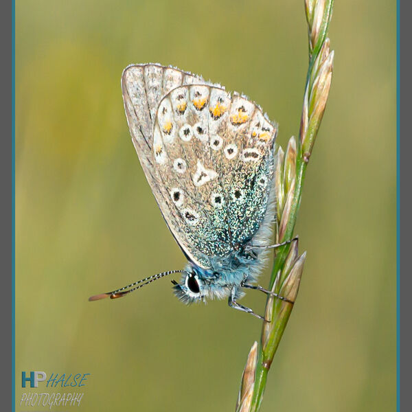 003 Common Blue Butterfly