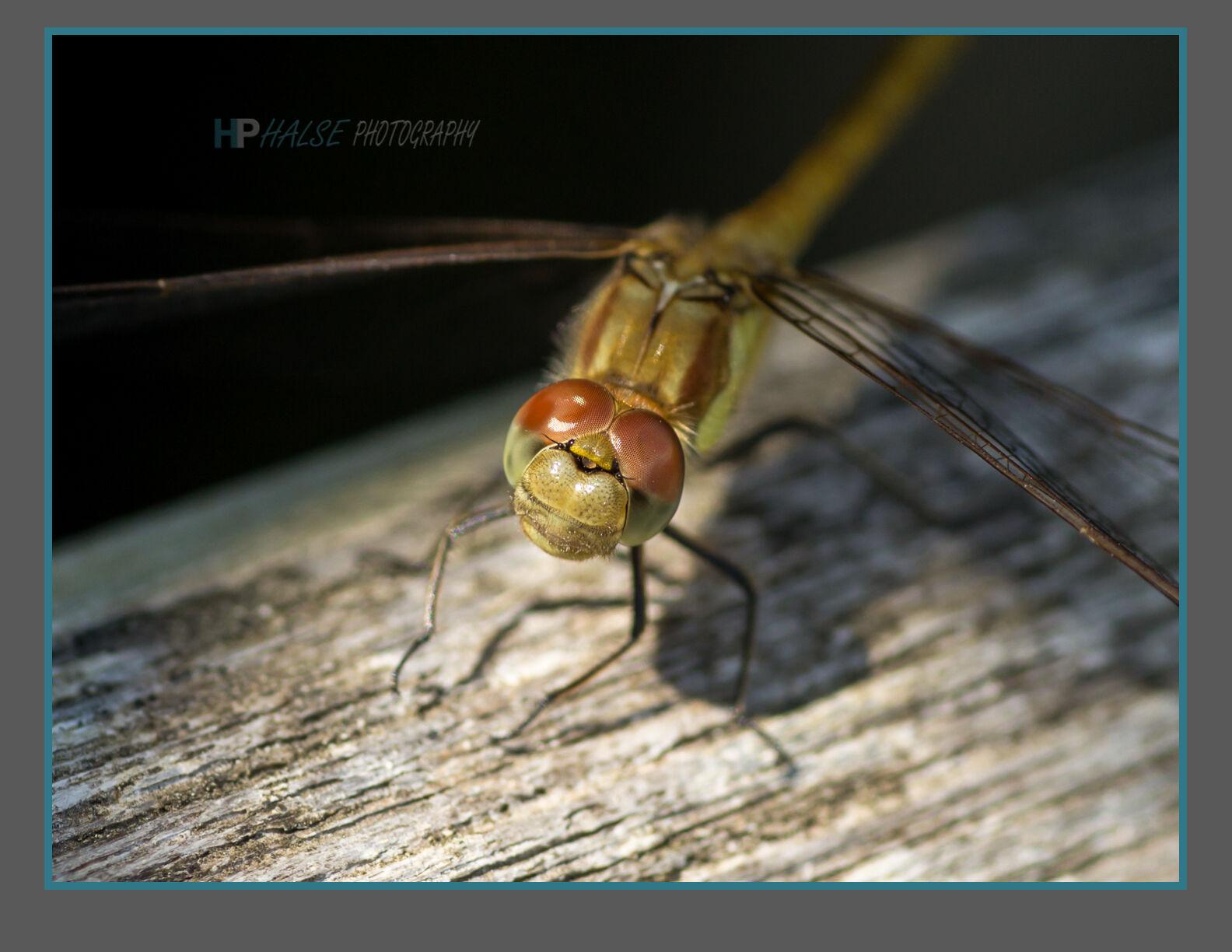 004 Dragonfly