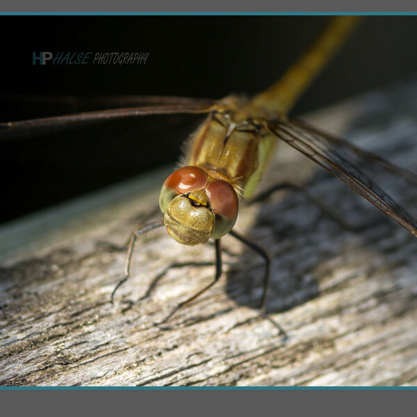 004 Dragonfly