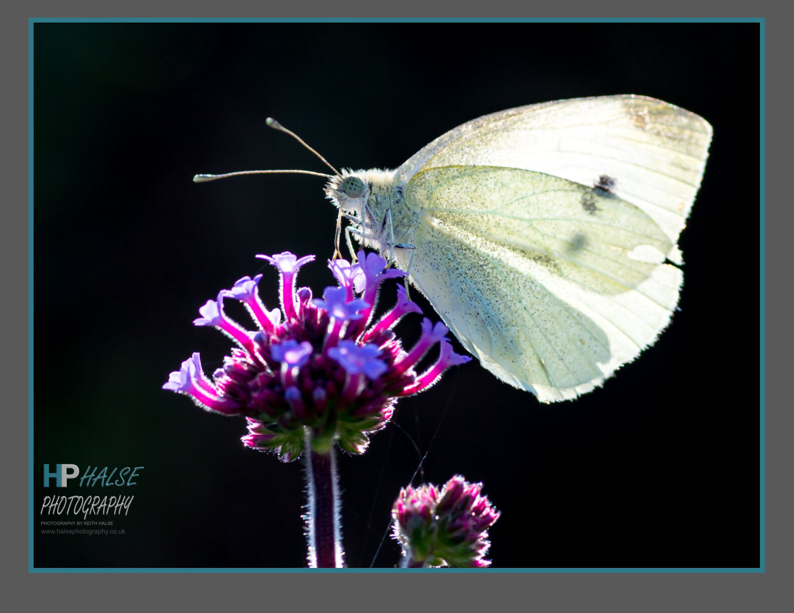 005 Large White Butterfly
