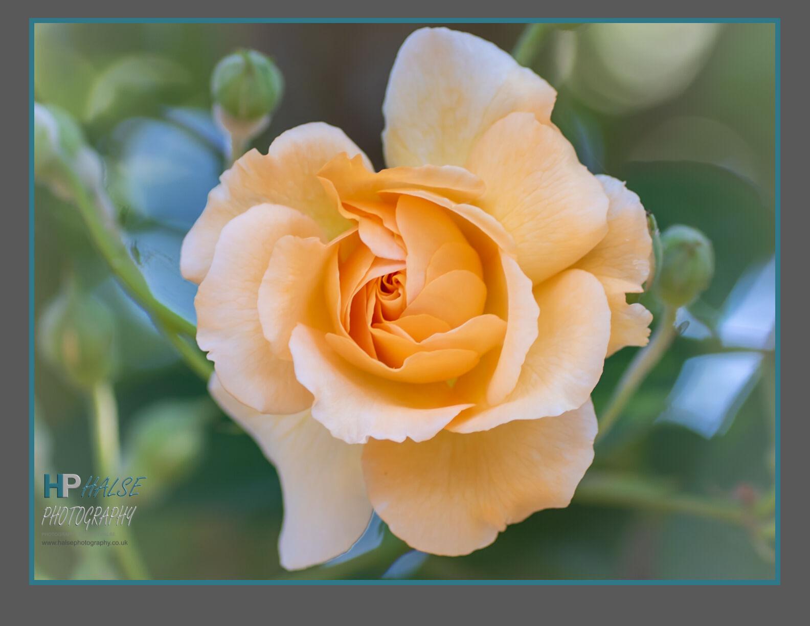 006 Buff Beauty Rose