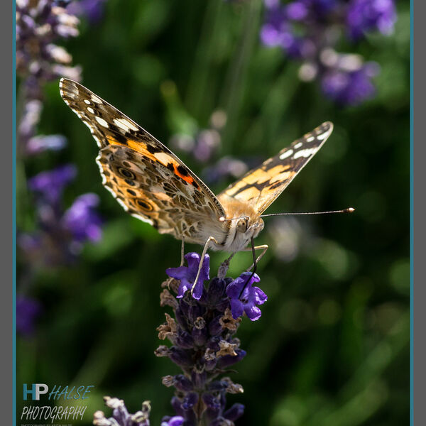 007 Painted Lady Butterfly