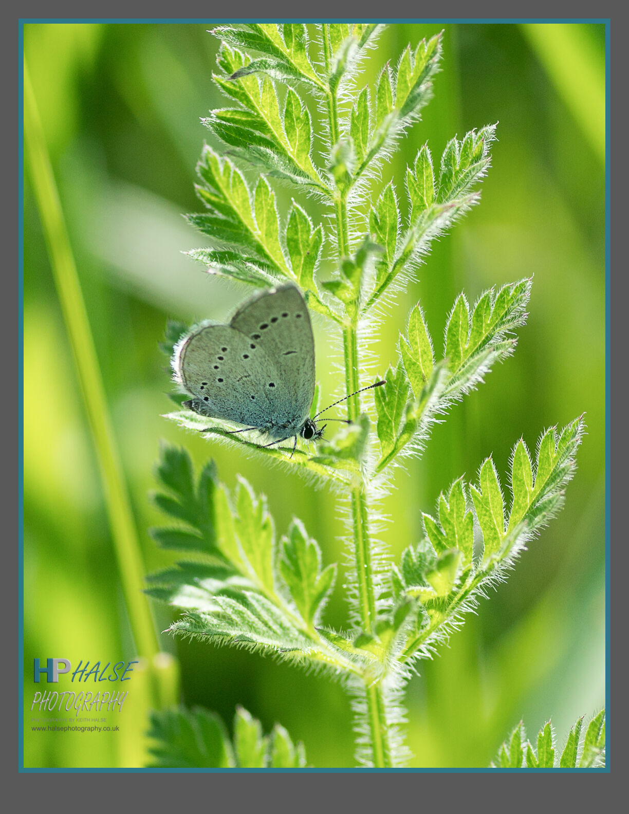 008 Small Blue Butterfly