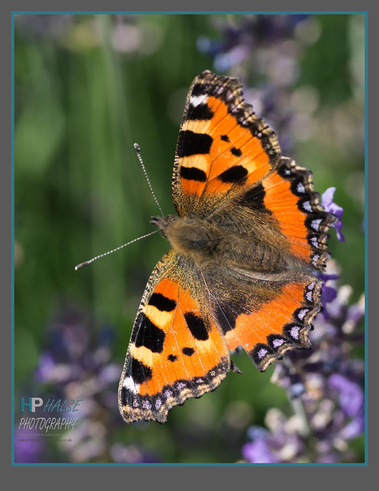 009 Small Tortoiseshell Butterfly