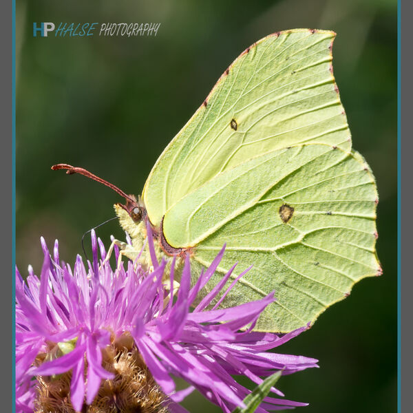 011 Brimstone Butterfly