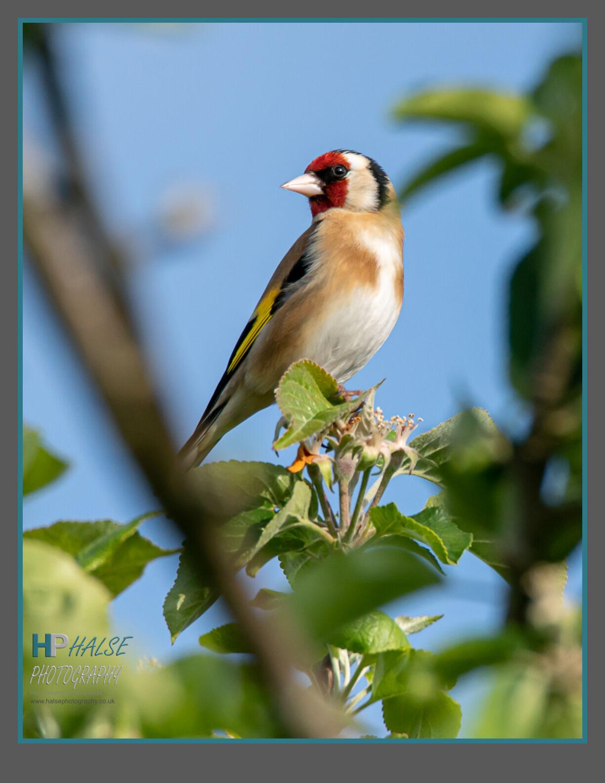 015 Goldfinch