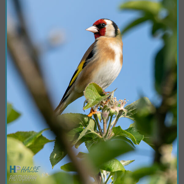 015 Goldfinch