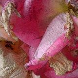 Fading rose 3