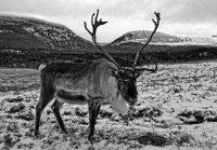 Aviemore Reindeer