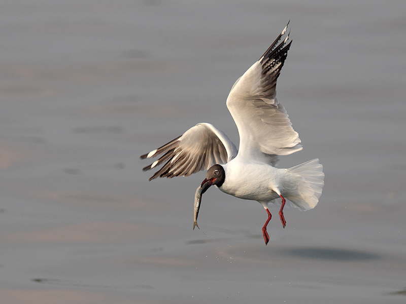 Brown headed Gull