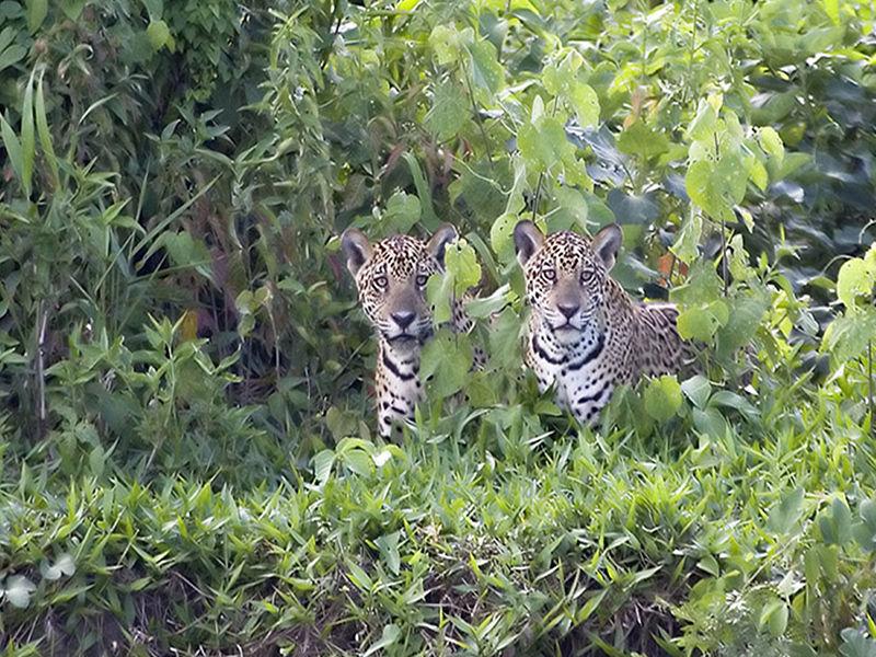 Jaguar Twins