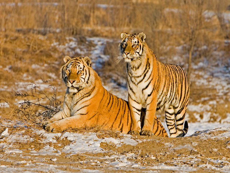 Manchurian Tigers Pair
