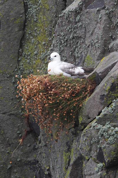 Fulmar Nesting