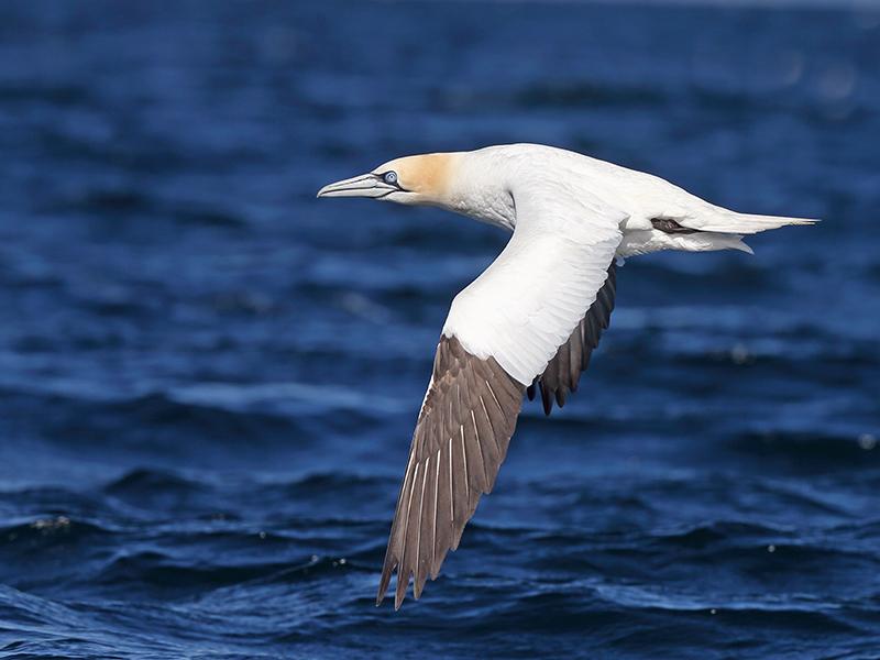 Gannet over Water