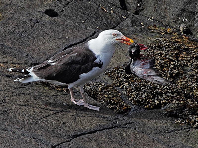 G B B Gull with Feral Prey