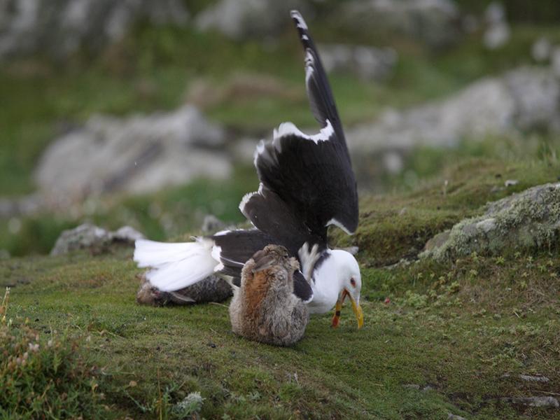 Rabbit attacking G B B Gull