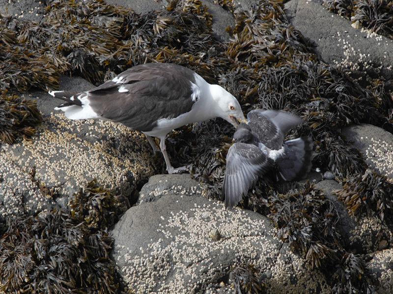G B B Gull Predating Feral Pigeon