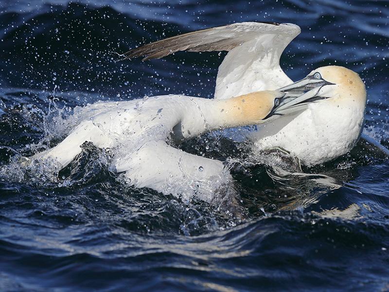 Gannet fight on Water