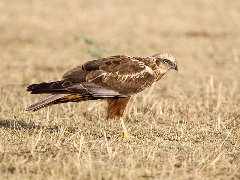 Marsh Harrier