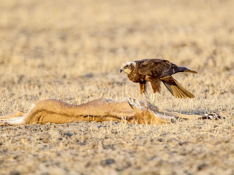 Marsh Harrier on Nilgi Calf