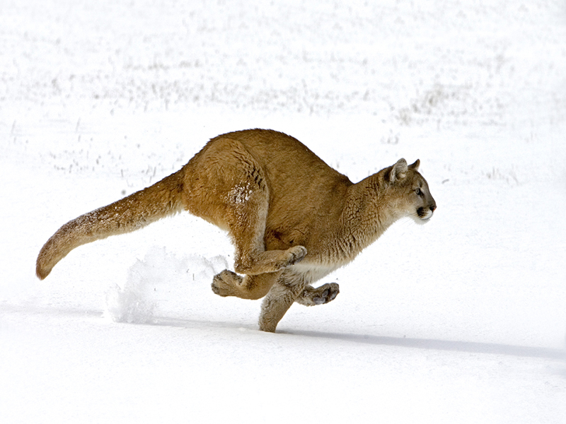 Puma Chase