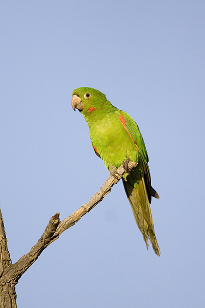 White eyed Parakeet