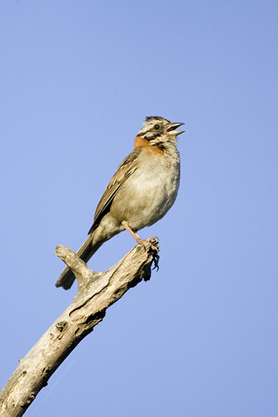 Rufous collard Sparrow