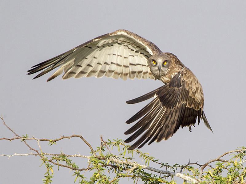 Short toed Snake Eagle 1