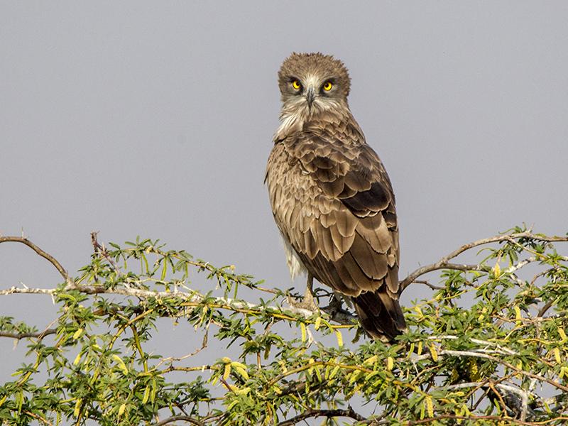 Short toed Snake Eagle 3