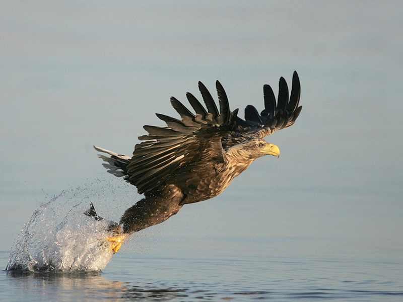 White tailed Sea Eagle 1