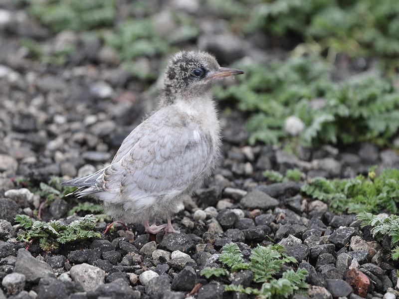 Arctic Tern Chick