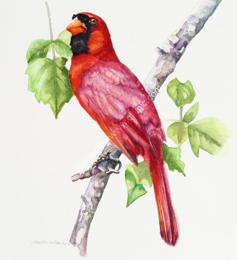 "'Red Cardinal Myakka Florida' watercolour, unframed dimensions 7.5""x5.5"""