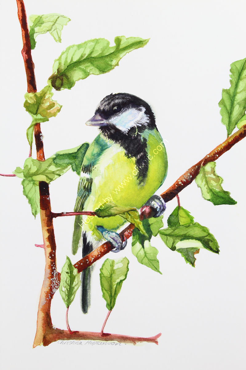 "'Great Tit' watercolour, unframed dimensions 7.5""x5.5"""