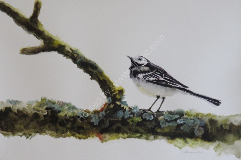 Pied Wagtail at Lake Vyrnwy SOLD