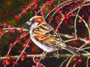 Sparrow in the Cotoneaster