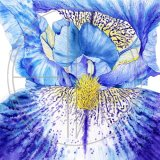 BLUE IRIS - BIG IS BEAUTIFUL Original Watercolour £160. Approx size 26cms x 26 cms