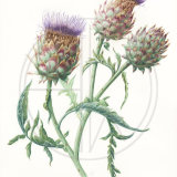 "CARDOONS Original Watercolour £150.  Approx size  20.5"" x 13.5"""