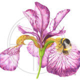 Iris and Bee - SOLD - A3 Prints Available