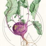"""KOHLRABI Original Watercolour £150.  Approx size 21"""" x 13.5"""""""