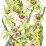 "TOTALLY TROPICAL PASSIONFLOWER Original Watercolour £150.  Approx size 15"" x 10.5"""