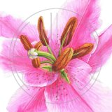 PINK LILY - BIG IS BEAUTIFUL Original Watercolour £160.  Approx size 26cm x 26 cm